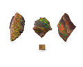 Fossils:Cepholopoda, AMMOLITE FOSSILS (Set of 3). Placenticeras sp..Cretaceous, Bearpaw Formation. Southern Alberta,Canada. 4.65 ... (Total: 3 Items)