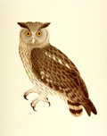 Books:Prints & Leaves, [Ornithology]. Large Reproduction Print by Unknown Artist Depictingthe Dusky Eagle Owl. London: The British Museum (Natural...
