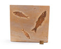Fossils:Fish, FOSSIL FISH. Mioplosus sp. and Knightia sp.. Eocence Age. GreenRiver Formation. Wyoming. 9.05 x 9.52 x 0.68 inches (23 x ...