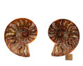 Fossils:Cepholopoda, SLICED AMMONITE PAIR. Cleoniceras sp.. Cretaceous. Madagascar.4.92 x 4.05 x 0.68 inches (12.5 x 10.3 x 1.73 cm). ... (Total:2 Items)