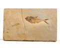 Fossils:Fish, Fossil Fish. Diplomystus dentatus. Lower Eocene.Green River Formation. Kemmerer, Wyoming, USA.10.39 x 6....