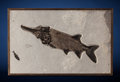Fossils:Fish, Fossil Paddlefish. Crossopholis magnicandatus.Eocene, Green River Formation. Wyoming, USA....