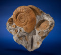 Fossils:Cepholopoda, Ammonite and Belemnite. Dactylioceras sp.. LowerJurassic, Germany. ...