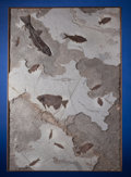 Fossils:Fish, Incredible Fossil Fish Mural. Notogoneus sp. Phareodus sp.;& more. Eocene, Green River Formation.Wyoming, US...