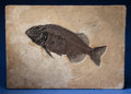 Fossils:Fish, Rare and Large Fossil Fish . Phareodus encaustus .Eocene, Green River Formation . Wyoming, USA....