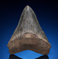 Fossils:Fish, Megalodon Shark Tooth. Carcharocles megalodon.Miocene. Morgan River, South Carolina, USA.... (Total: 2 Items)