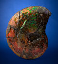 "Fossils:Cepholopoda, ""Gem"" Ammonite. Placenticeras meeki. Late Cretaceous,Bearpaw Formation. Alberta, Canada. ..."