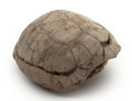 Fossils:Amphibians & Reptiles, Small Fossil Turtle. Stylemys nebrascensis.Oligocene. White River Badlands, South Dakota, USA.4.25 x 3.89 x ...
