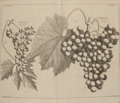 Books:Natural History Books & Prints, [Botany]. Batty Langley. Pomona: or, the Fruit-GardenIllustrated. Containing Sure Methods for Improving all theB...