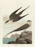 Fine Art - Work on Paper:Print, John James Audubon (American, 1785-1851). Artic Yager, Lestric Parasitica (No 54, Plate CCLXVII), 1835. Hand-colored eng...