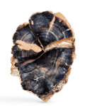Fossils:Paleobotany (Plants), Petrified Wood Slab. Dicot. The Blue Forest. Eden Valley, Wyoming. 8.34 x 5.90 x 0.66 inches (21.20 x 15.00 x 1.70 cm). ...
