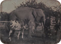 Photographs, Unknown (American, 19th Century). An Elephant, Horse, Camel, and a Man, circa 1850. Quarter-plate daguerreotype in bras...