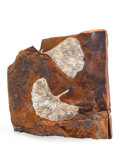 Fossils:Paleobotany (Plants), Ginkgo Leaves. Ginkgo adiantoides. Paleocene. Sentinel ButteFormation. Morton County, North Dakota. 5.31 x 5.19 x 1.78in...