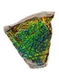 Fossils:Cepholopoda, Ammolite Fossil. Placenticeras sp.. Cretaceous. BearpawFormation. Southern Alberta, Canada. 4.73 x 4.68 x 0.50 inches(12...