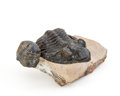 Fossils:Trilobites, Trilobite Fossil. Odontochile and Reedops. Devonian.Sahara Desert, Morocco. 2.68 x 2.94 x 1.87 inches (6.83x...