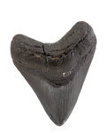 Fossils:Fish, Megalodon Shark Tooth. Carcharocles megalodon. Miocene. MorganRiver. South Carolina, USA. 3.56 x 2.96 x 0.78 inches (9.06...