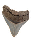 Fossils:Fish, Megalodon Shark Tooth. Carcharocles megalodon. Miocene. MorganRiver. South Carolina, USA. 3.43 x 2.80 x 0.68 inches (8.70...
