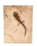 Fossils:Amphibians & Reptiles, Fossil Amphibian with Larvae. Sclerocephalus hauseri. Permian. Odernheim Pfatz, Germany. 12.40 x 9.25 x 0.31 inches (31.50...