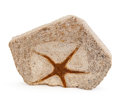 """Fossils:Echinoderms, Fossil Starfish. """"Brittle Star"""". Ophiuroidae. Ordovician. Sahara Desert Region, Morocco. 4.76 x 3.43 x 0.78 inches (12.10 ..."""