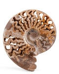 Fossils:Cepholopoda, Ammonite Fossil. Schloenbacchia variosis. Cretaceous. AtlasMountains, Khenifra Province, Morocco. 5.71 x 5.12 x 1.38inch...