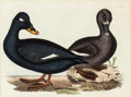 Prints, John Prideau Selby (British, 1788-1867). Spectacle Scoter, Plate LXIX and Velvet Scoter, Plate LXVII (two works). En... (Total: 2 Items)
