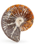 Fossils:Cepholopoda, Polished Ammonite. Cleoniceras cleon. Cretaceous. Madagascar.4.65 x 3.94 x 1.02 inches (11.80 x 10.00 x 2.60 cm). ...