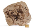 Fossils:Paleobotany (Plants), Fossil Leaf Plate. Unknown Variety. Unknown Locality. 7.44 x 7.13 x 0.96 inches (18.90 x 18.10 x 2.43 cm). ...