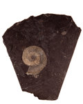 Fossils:Cepholopoda, Ammonite Fossil Imprint. Harpoceras falcifer. Lower Jurassic, Holzmaden Shale. Bavaria, Germany. 4.72 x 3.90 x 0.56 inches...