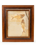 Fossils:Fish, Framed Fossil Fish. Diplomystus sp.. Eocence Age. Green RiverFormation. Wyoming. 16.93 x 14.57 x 0.98 inches (43.00 x 37....
