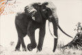 Photographs:Gelatin Silver, Peter Beard (American, b. 1938). Large Tusker, circa 110-115pounder, near Kattremula, on the Tiva Sand River, February...