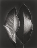 Photographs, Ruth Bernhard (American, 1905-2006). Two Leaves, 1952. Gelatin silver, printed later. 13-5/8 x 10-5/8 inches (34.6 x 26....