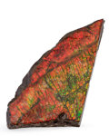 Fossils:Cepholopoda, Ammolite Fossil. Placenticeras sp.. Cretaceous, BearpawFormation. Southern Alberta, Canada. 5.79 x 2.80 x 0.57 inches(14...