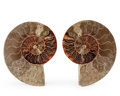 Fossils:Cepholopoda, Sliced Ammonite Pair. Cleoniceras sp.. Cretaceous. Madagascar.5.87 x 4.61 x 0.69 inches (14.90 x 11.70 x 1.75 cm). ...(Total: 2 Items)