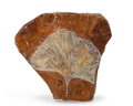 Fossils:Paleobotany (Plants), Gingko Leaf. Ginkgo adiantoides. Paleocene. Sentinel Butte Formation. Morton County, North Dakota. 3.46 x ...