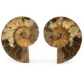 Fossils:Cepholopoda, Sliced Ammonite Pair. Cleoniceras sp.. Cretaceous.Madagascar. 4.50 x 3.46 x 0.55 inches (11.44 x 8.81 x1.40 ... (Total: 2 Items)