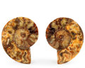 Fossils:Cepholopoda, Sliced Ammonite Pair. Cleoniceras sp.. Cretaceous. Madagascar.3.62 x 2.94 x 0.51 inches (9.20 x 7.48 x 1.29 cm). ... (Total:2 Items)