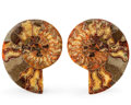 Fossils:Cepholopoda, Sliced Ammonite Pair. Cleoniceras sp.. Cretaceous. Madagascar.7.09 x 5.71 x 0.84 inches (18.00 x 14.50 x 2.14 cm). ...(Total: 2 Items)