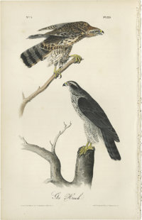 Gos Hawk Audubon Royal Octavo Print. Plate number 23 features the Gos Hawk male and female; the male is the darker of th...