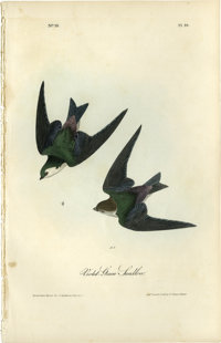 Violet-Green Swallow Audubon Royal Octavo Print. Plate number 49 headlines the Violet-Green Swallow. Both the male and f...