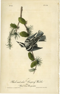 Black and White Creeping Warbler Audubon Royal Octavo Print. Plate number 114 features the Warbler of the Black and Whit...