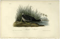 Antiques:Posters & Prints, American Coot Audubon Royal Octavo Print. Plate number 305 featuresthe American Coot. In this cataloguer's opinion, this is...