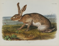 Audubon Imperial Quadruped Print: Lepus Texianus; Texian Hare. This lot features plate CXXXIII, the Texian Hare. The mal...