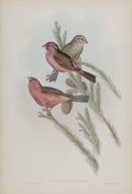 Antiques:Posters & Prints, J. Gould Elephant Folio Print: Carpodactus Rhodochlamys.This print depicts the Red Mantled Grosbeak, native to the regi...