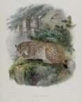 Antiques:Posters & Prints, Joseph Wolf Elephant Folio Print: Felis Cervaria; TheSiberian Lynx. This print comes from J. Wolf and J. Smit's AMon...