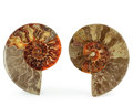 Fossils:Cepholopoda, Sliced Ammonite Pair. Cleoniceras sp.. Cretaceous. Madagascar.4.94 x 4.03 x 0.65 inches (12.55 x 10.23 x 1.65 cm). ...(Total: 2 Items)
