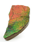 Fossils:Cepholopoda, Ammolite Fossil. Placenticeras sp.. Cretaceous, BearpawFormation. Southern Alberta, Canada. 3.63 x 1.77 x 0.50 inches(9....