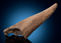 Triceratops Brow Horn Triceratops horridus Late Cretaceous Hell Creek Formation, Mo