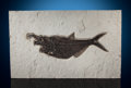 "Fossils:Fish, Fossil Fish ""Aspiration"". Diplomystus dentatus.Eocene. Green River Formation. Wyoming. ..."