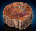 Fossils:Paleobotany (Plants), Contoured Petrified Wood. Araucarioxylon arizonicum. Triassic. Chinle Formation. Arizona, USA. ...