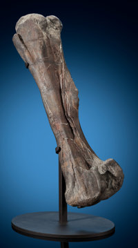 Mounted Dinosaur Femur Hadrosaurid Cretaceous Two Medicine Formation